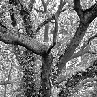 Black and white tree with vines. Upland Consulting.