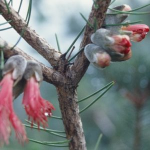 Upland Consulting business growth specialist: photo of Australian native shrub in bud